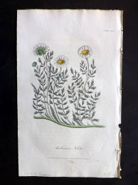 Cox Medical Botany 1822 Hand Col Botanical Print. Common Chamomile 114
